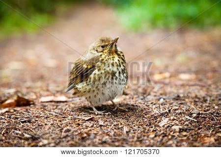 Small throstle fledgling, song thrush on forest ground