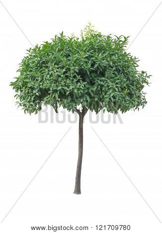 Orange tree without oranges isolated on white background.