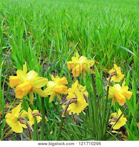 Summer Landscape. Flowers Daffodils