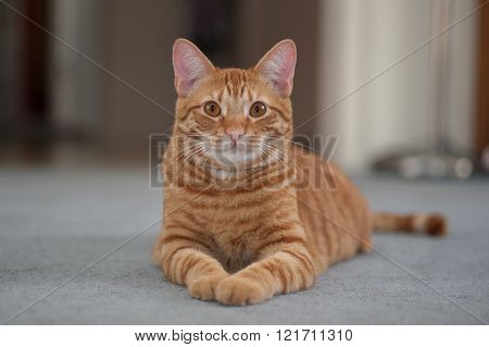 Orange cat showing both paws.