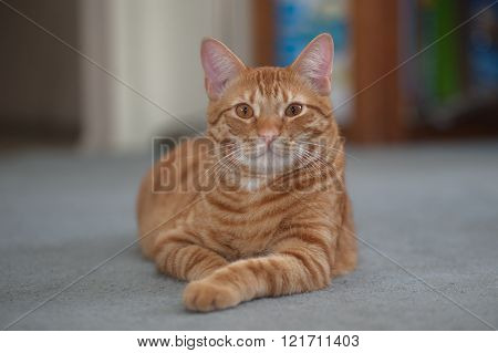 Striped cat facing straight