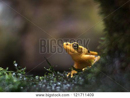 Panamanian Frog (Atelopus zeteki)