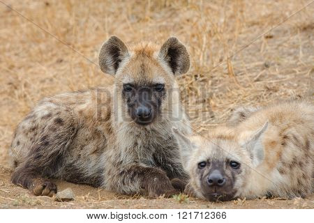 Young Spotted Hyena lying down pose, Kruger National Park, South Africa