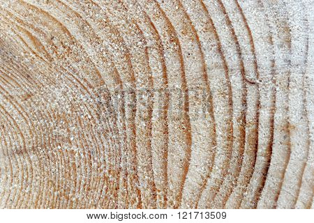 Tree Rings Of A Pine Tree