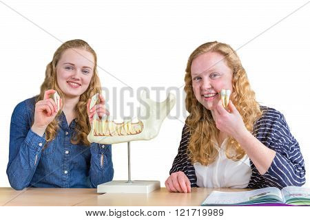 Two female students exploring jaw model with teeth in biology lesson