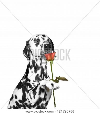 Dog Present A Rose And Sniffs It