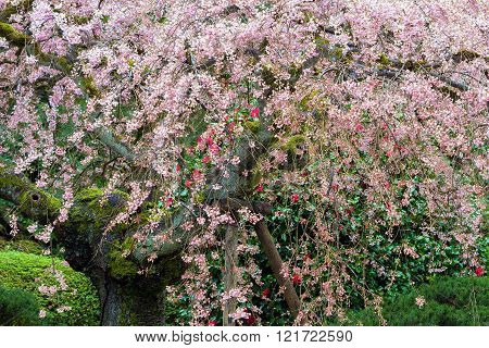 Old Cherry Blossom Tree in full bloom at Japanese Garden in Springtime ** Note: Soft Focus at 100%, best at smaller sizes