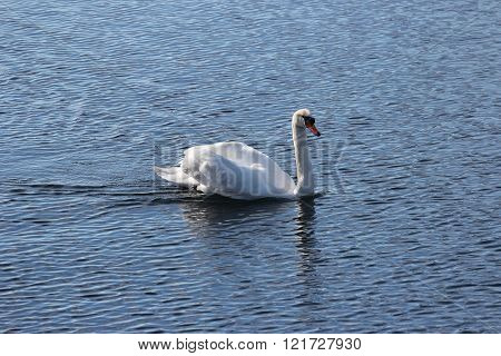 Lone swan gliding through the water, Ticino River