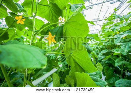 Close up cucumber leaves