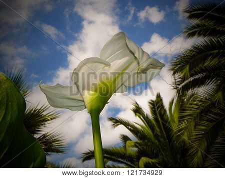 Tropical Cala Lily Under Blue Sky