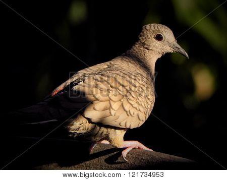 Brown Dove In Sunlight