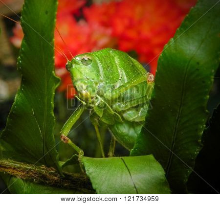Green Mexican Grasshopper