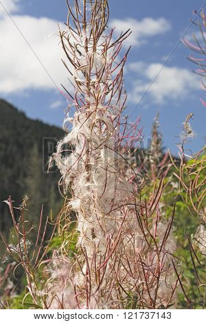 Fireweed Flower In The Fall