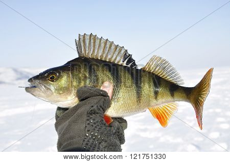 Winter perch fishing