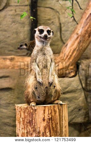 Meerkat Sitting Upright