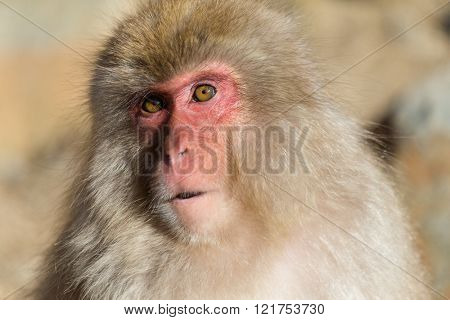 Japanese Monkey close up