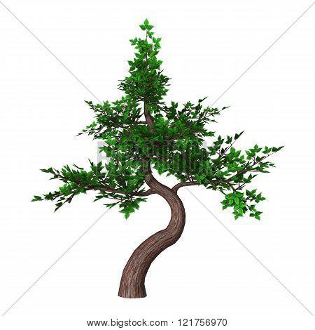 Bonsai Tree On White