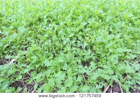 green sapling of vegetables in the gardenLettuce was about one month.