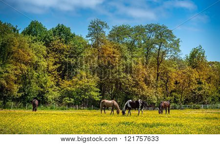 Horses grazing in a meadow of Buttercups