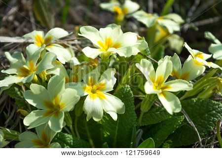 Spring White Flowers With Yellow Middle Of Inflorescence