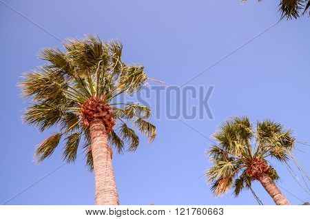 Green Palm Canarian Tree