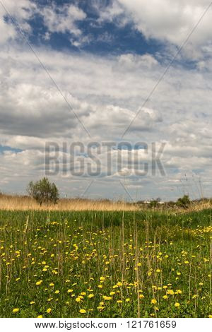 Meadow of yellow dandelions with dried reeds the line of dried reeds and trees in the distance under a blue sky with a lot of big curly white clouds