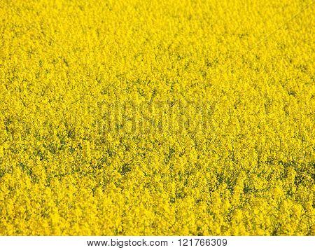 Yellow field of rape plant