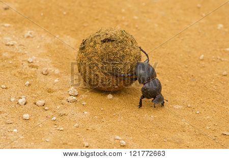 dung beetle walking backwards on a gravel road rolling a ball elephant dung