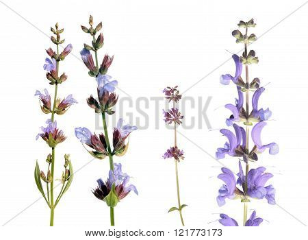 Different species of salvia (sage) isolated on white background