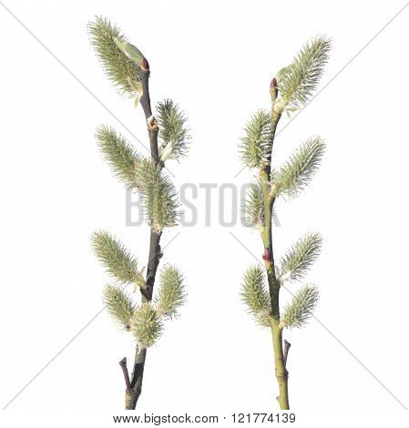 Willow branches with catkin isolated on white