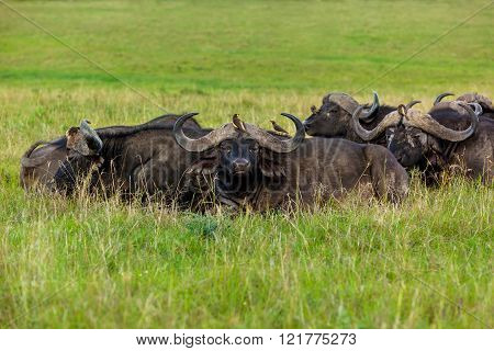 buffalo family resting in a meadow, a herd of buffalo lie on the grass