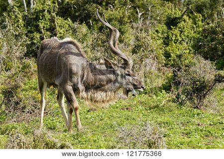 Large male kudu antelope standing and eating short green grass