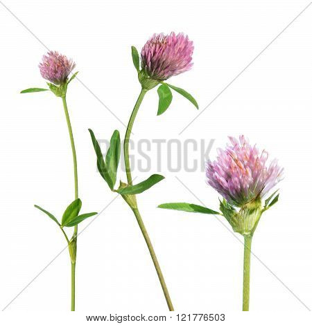 Red clover (Trifolium pratense) isolated on white