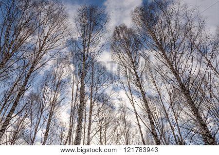 Trunks Birch Forest Bottom Winter