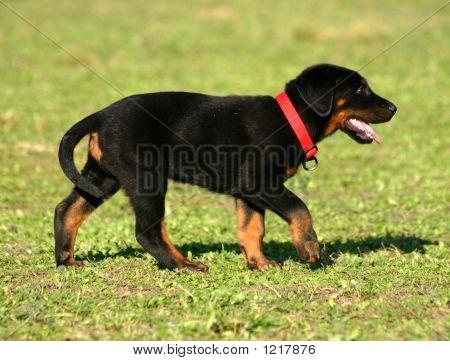 Walking Puppy