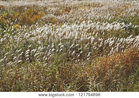 Amur Silver Grass (miscanthus Sacchariflorus)