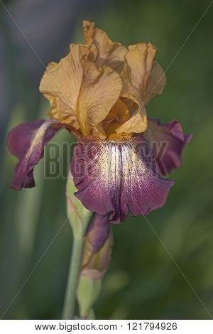 German Iris (iris X Germanica)