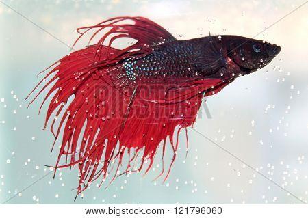 Red siamese fighting fish. Freshwater aquarium fish