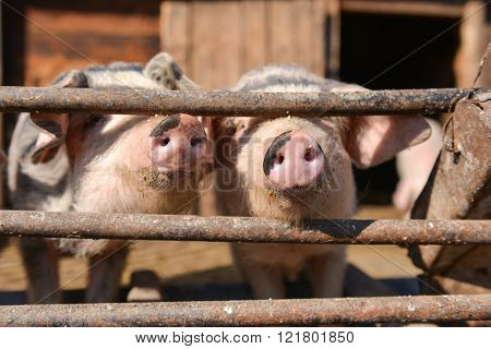Curious pigs at cage takes out his nose through the fence