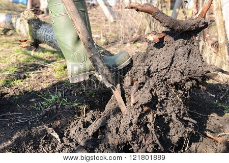 Closeup of gardener in the spring trying to remove a dry tree by pulling out his roots with spade