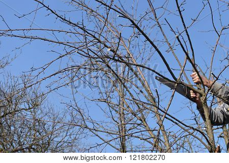 man cutting the branch of a tree with a saw. Spring cleaning of the dry branches and aged. Selective focus