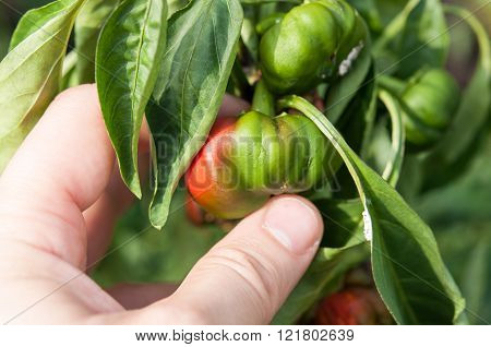 Farmer Holding In Hand A Little And Rotten Peppers Damaged And  By The Drought And Illnesses. The Co