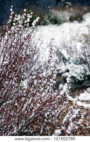 Barberry (Berberis vulgaris) shrub in garden under first snow