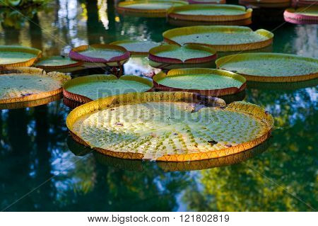 Sunlight on brightly colored Victoria regia waterlily leaves