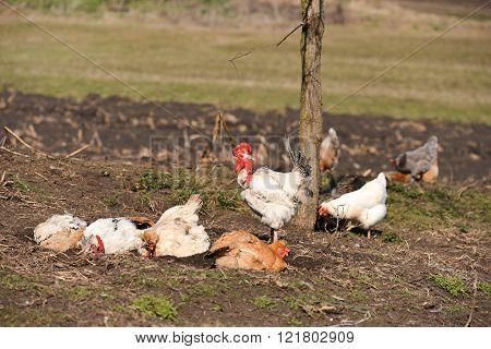 Rooster Near Hens Having A Dust Bath On A Warm Day