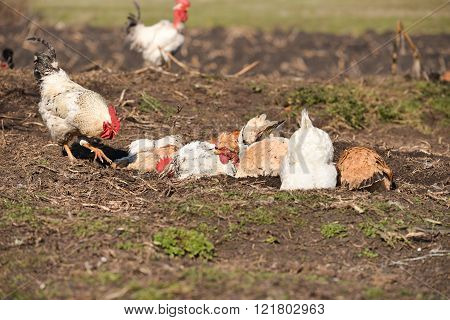 Hens Taking A Dust Bath And A Rooster Walked Past Them