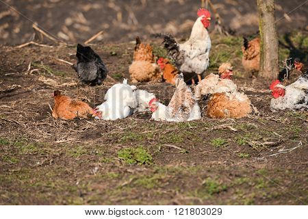 Hens Taking A Dust Bath At The Farm On A Warm Day