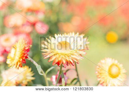Beautiful flower Strawflower ( Everlasting ) with soft  filter