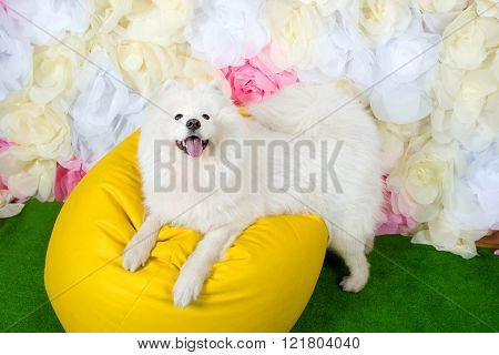 white dog samoyed laying on yellow chair