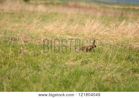afraid hare running across a meadow. Nature